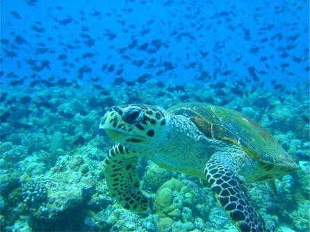 Большая Мальдийская Черепаха