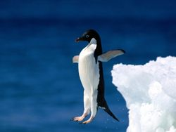 Я пингвин!